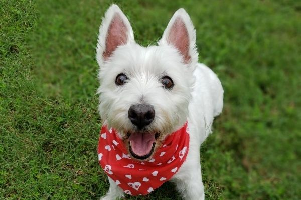 Delilah, the unofficial mascot of Riverview Turfworks. She is a small white dog wearing a red bandana and is owned by Mike, the owner and founder of Riverview Turfworks.