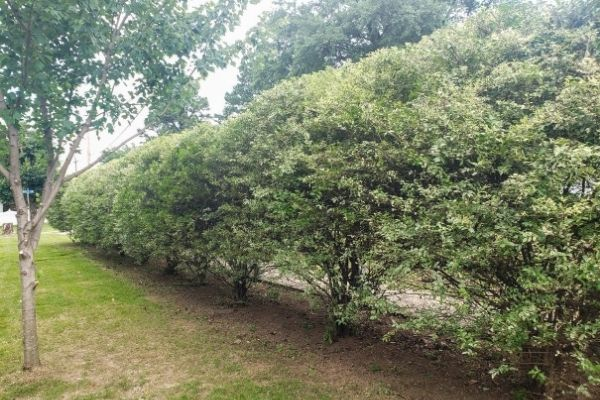 A line of shrubs that have been carefully pruned so they are all uniformly sized and shaped.