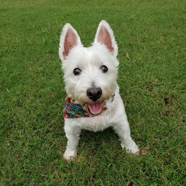 Delilah, the mascot of Riverview Turfworks. She is a small white dog wearing a multicolored bandana.